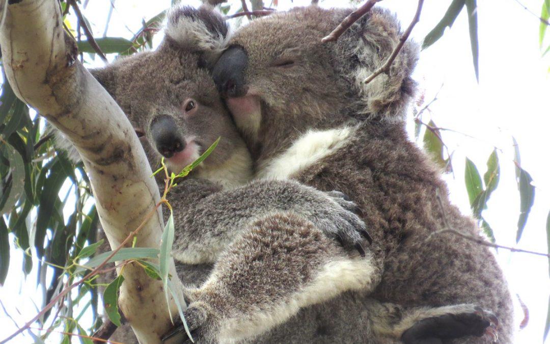 koala sex