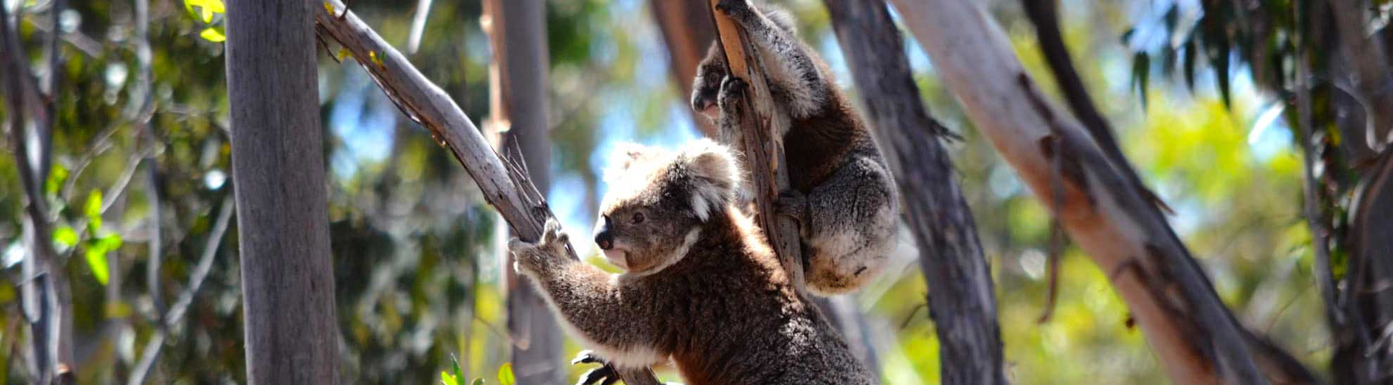 Donate for Koalas