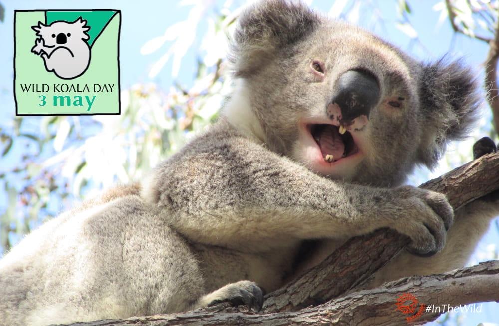 wild koala smiling wild koala day