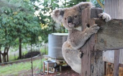 Wild Koala Day 2018: Homes For Everybody