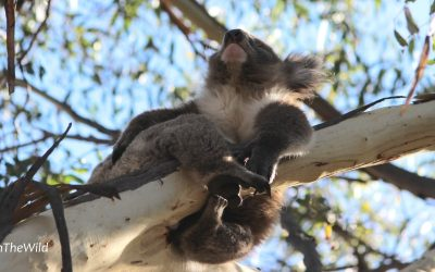 The Bush needs Koalas