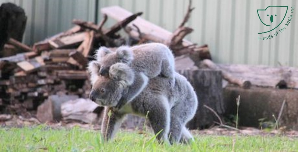Koalas can live in suburbs