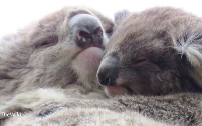 Koala kisses in the gum-trees | Wild Koala Day