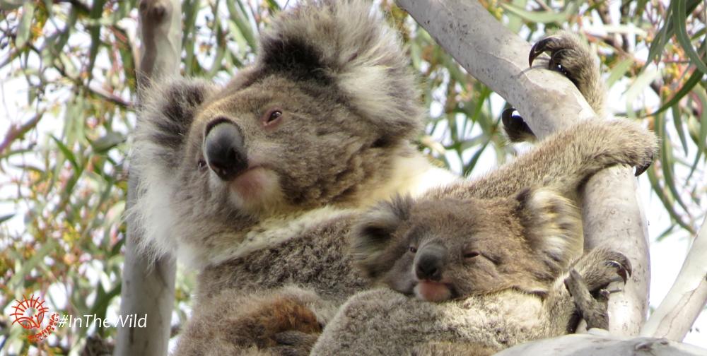 koala mother joey cuddles