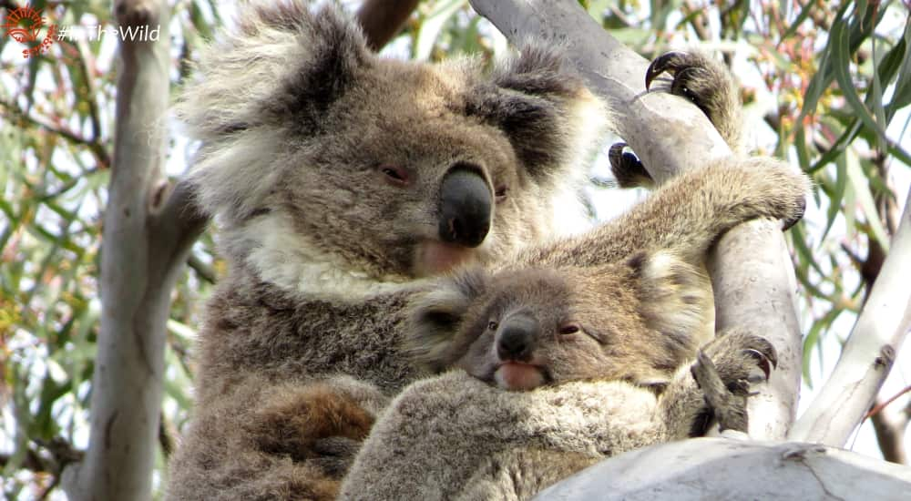 mother joey koala tree climbing