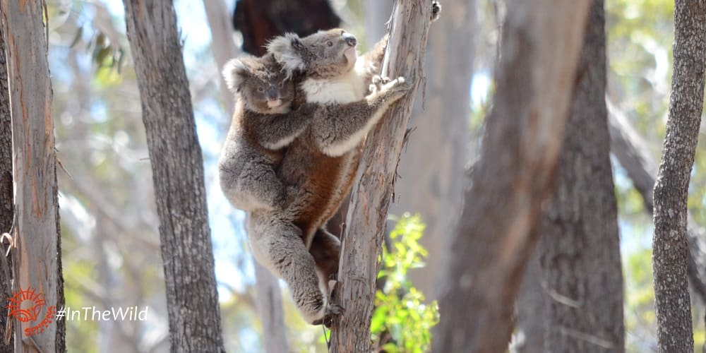 tree climbing with koala joey