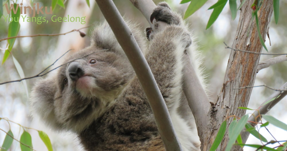 Koala News & Science Feb 2020