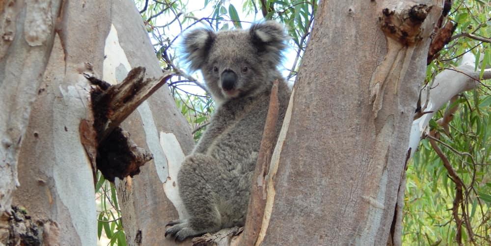 young male koala in big tree international koala day