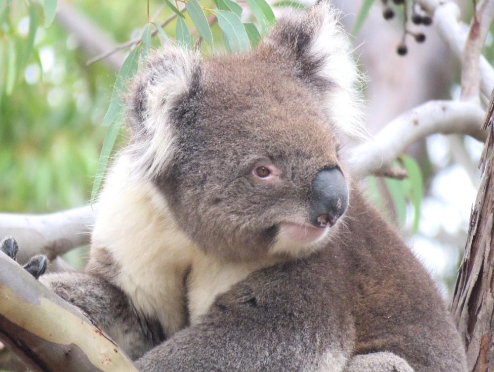GULKURGULI-wild-koala-day-240519-dap07