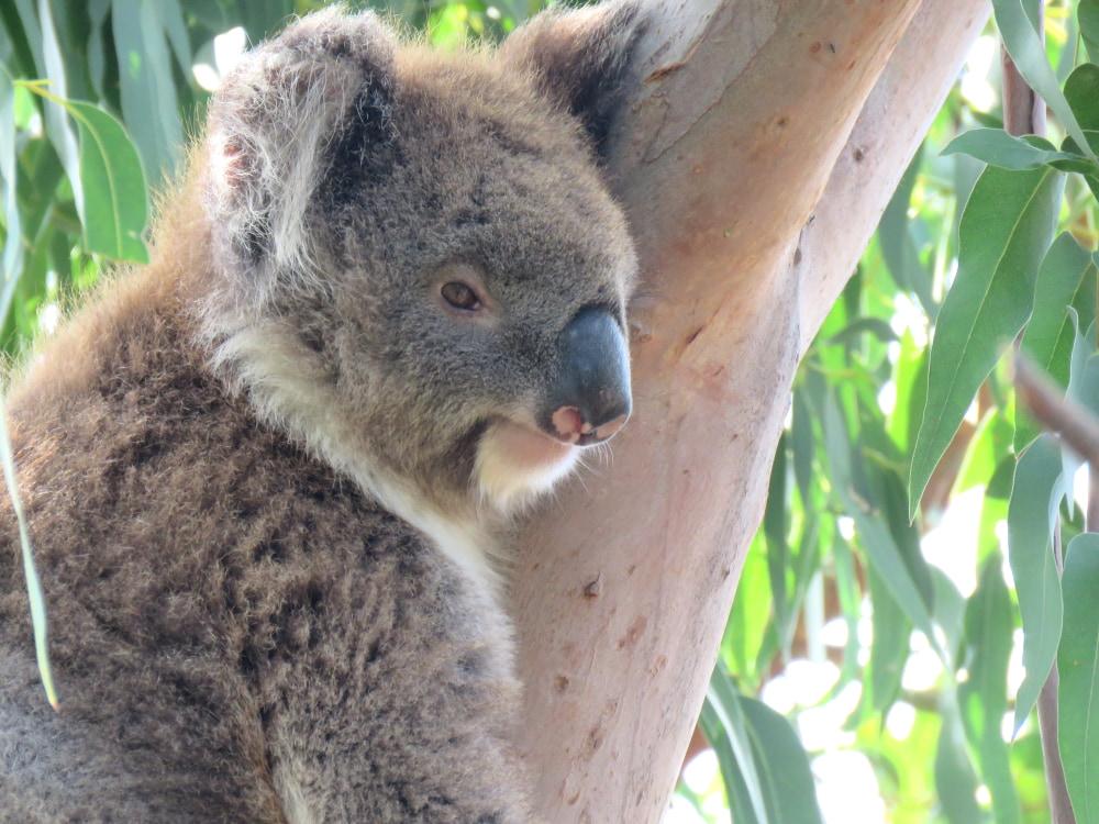 KIKI-wild-koala-day-140220-klp09