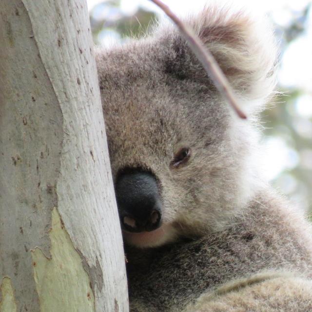 PAT-wild-koala-day-030719-klp05