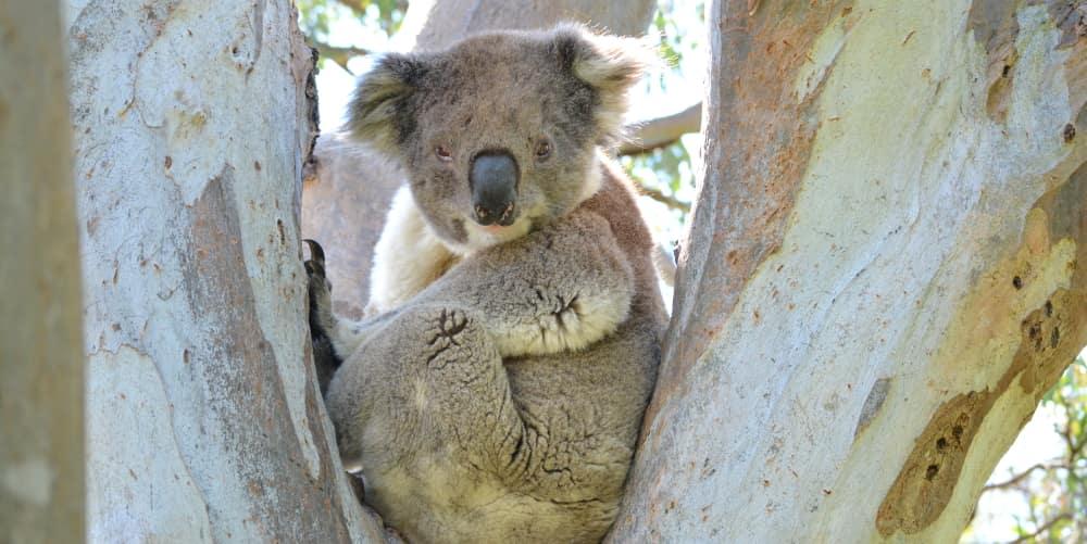 new raymond island koala group