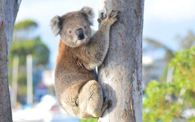 New Koala Group to be launched on Wild Koala Day
