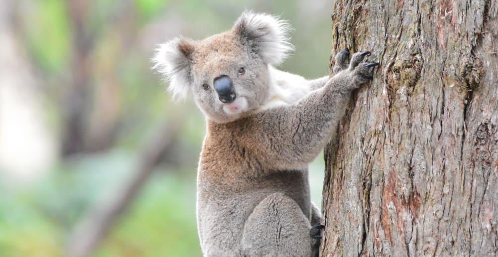 wild koala East Gippsland