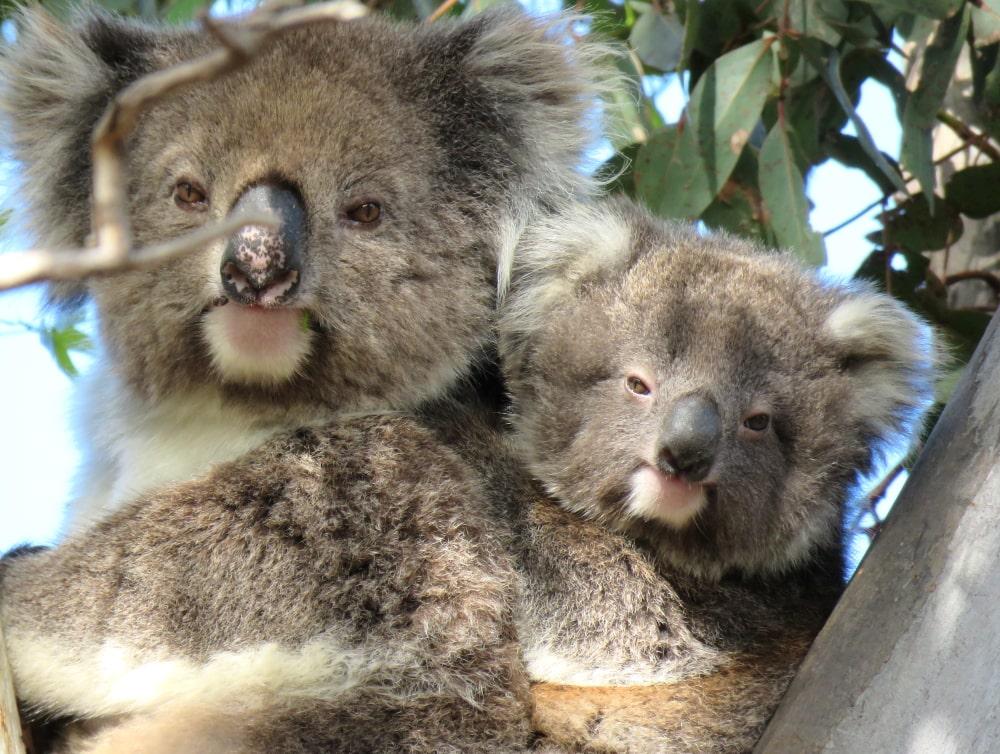 WEMBA-yeera-wild-koala-day-141019-amp04