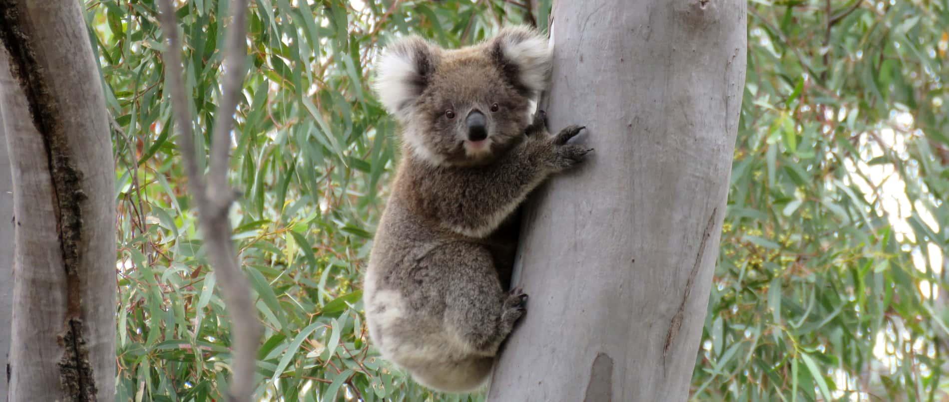 baby koala wild