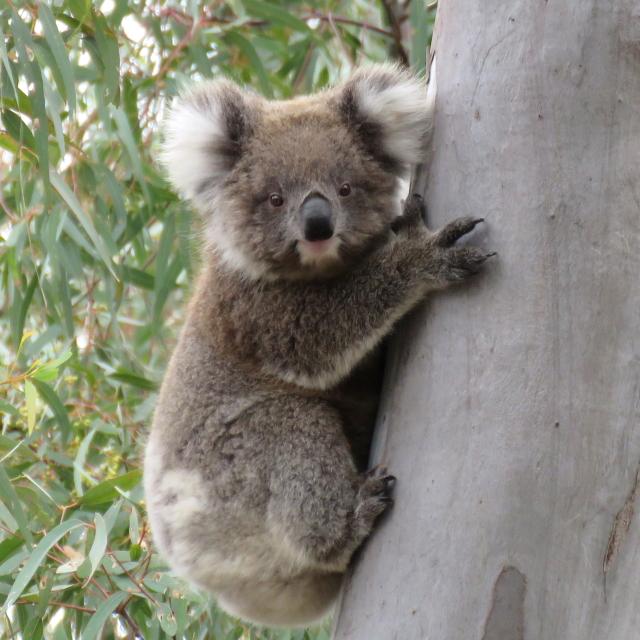 WINJKU-wild-koala-day-011219-amp13