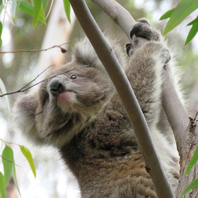 WINJKU-wild-koala-day-171119-klp11