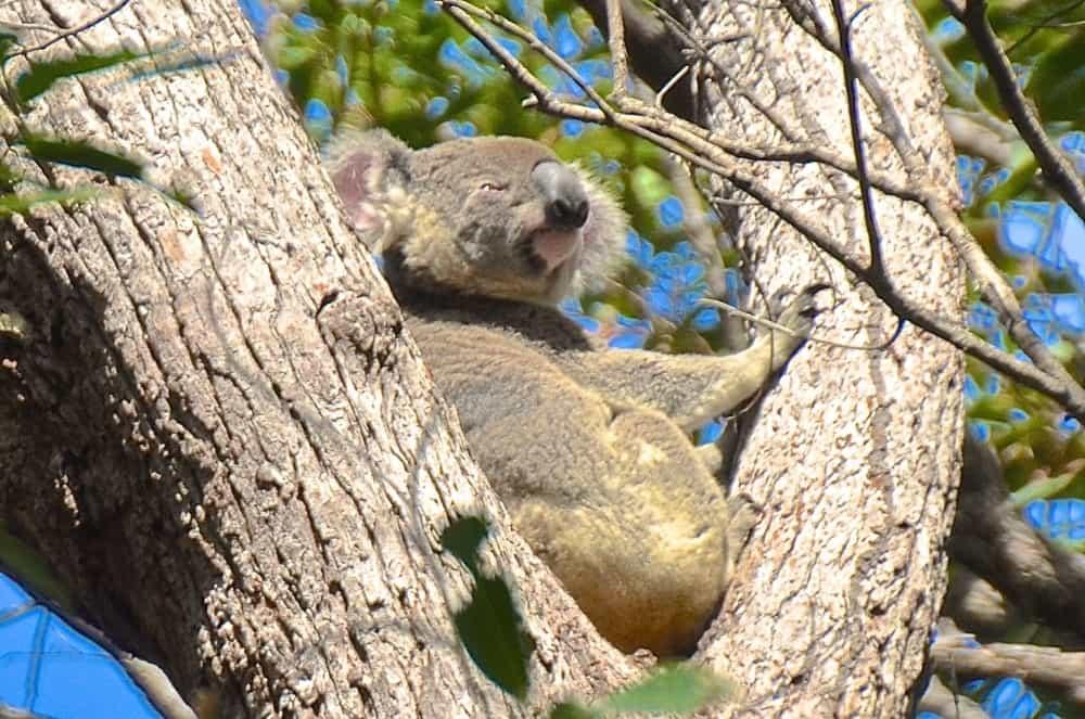 noosa koala male qld