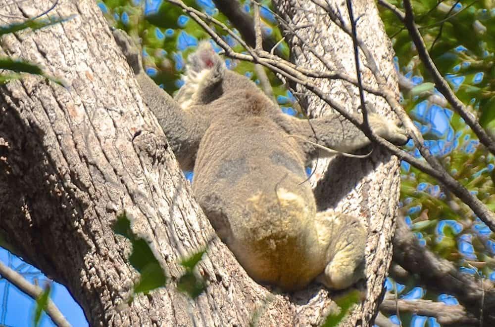 back view noosa koala