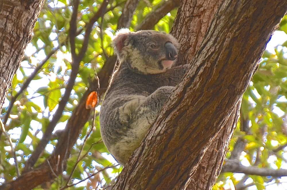 noosa koala qld