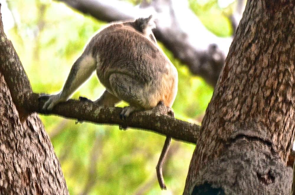 wild koala Noosa