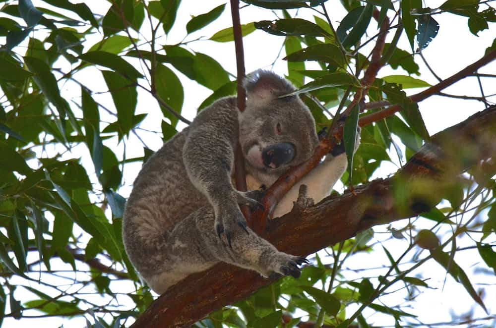 How to see wild koalas in Noosa