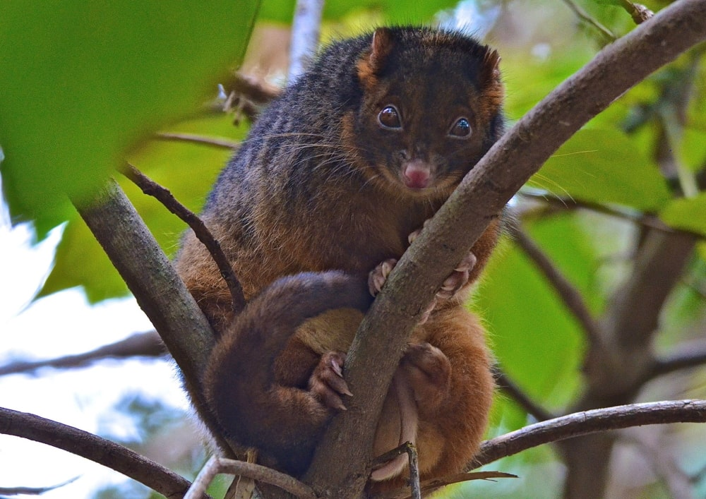 Common Ringtail Possum Noosa