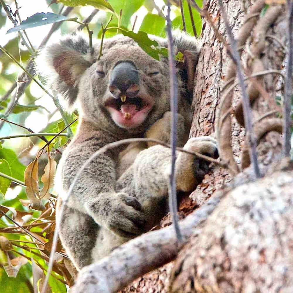 noosa koala laughing