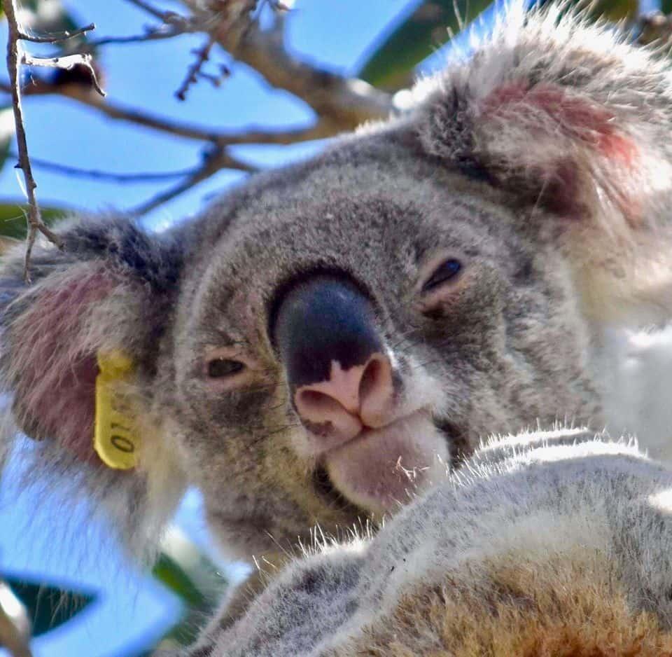female Noosa koala Aggie