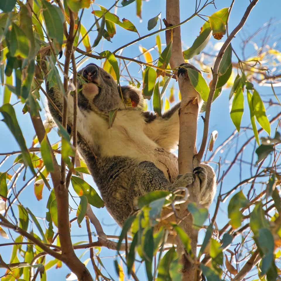 Noosa koala