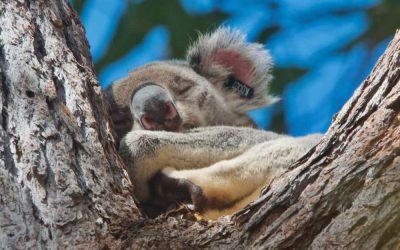 A wild koala story from Noosa, part 6
