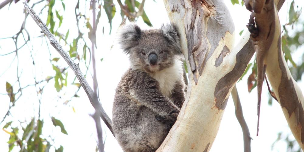 sweet baby female koala wild you yangs