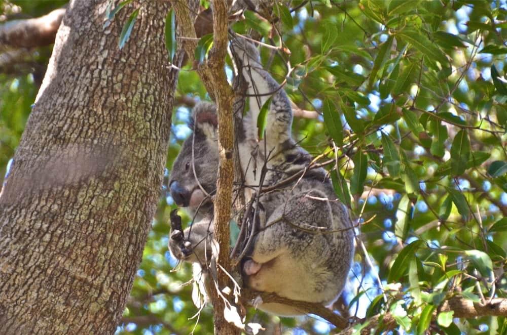 Queensland wild koala