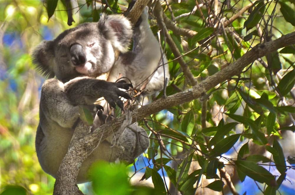koala snoozing Queensland