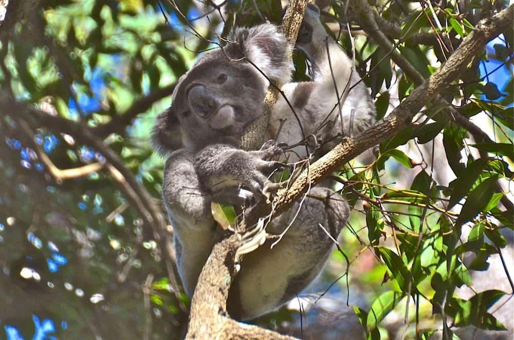 Noosa Queensland wild koala