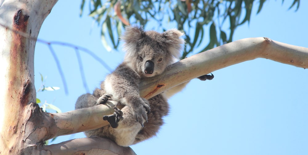 international wild koala day