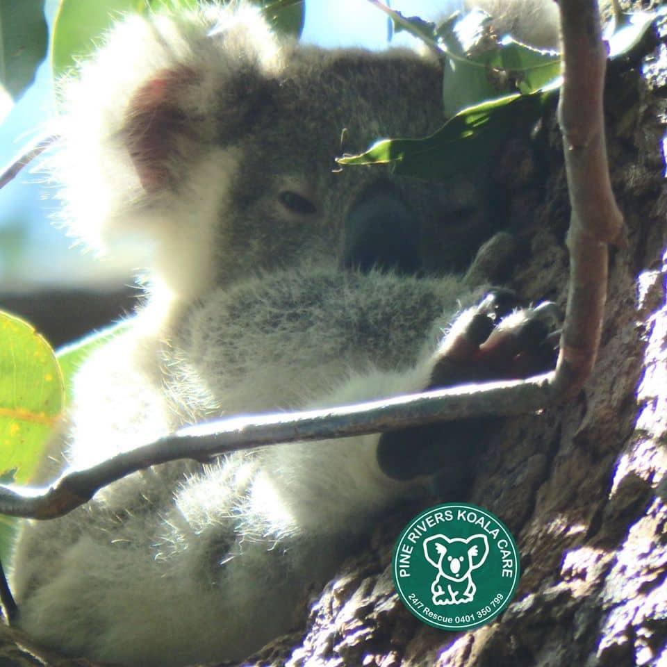 pine rivers wild koala Queensland