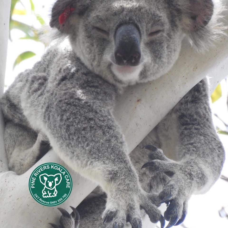 Brisbane Queensland koala wild sleeping