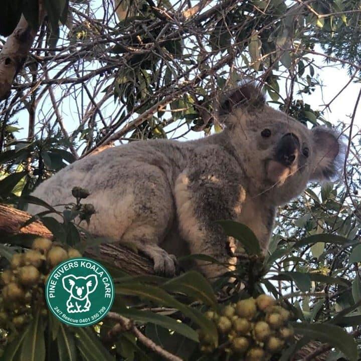 Brisbane Queensland koala wild day