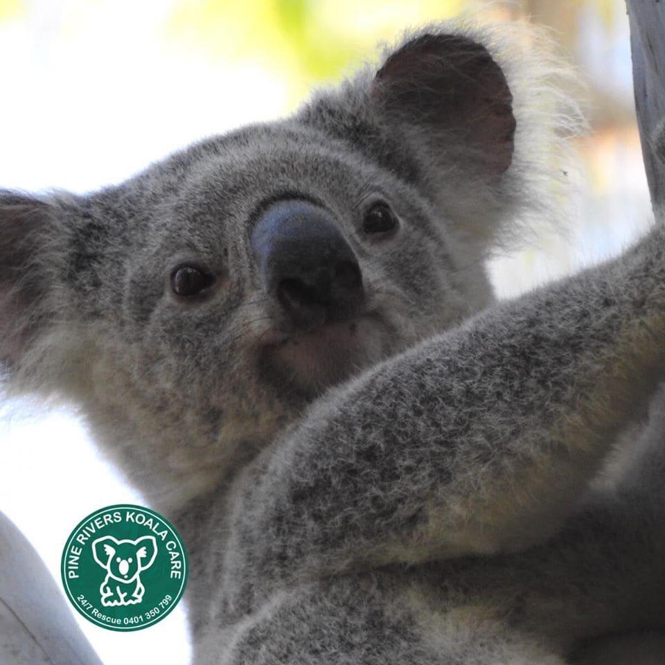 pine rivers wild koala day