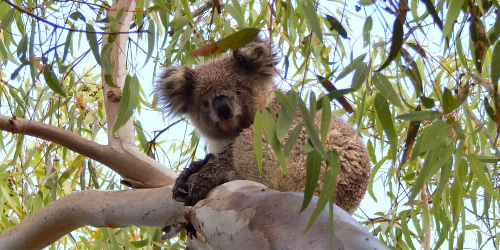 baby koala wet with rain