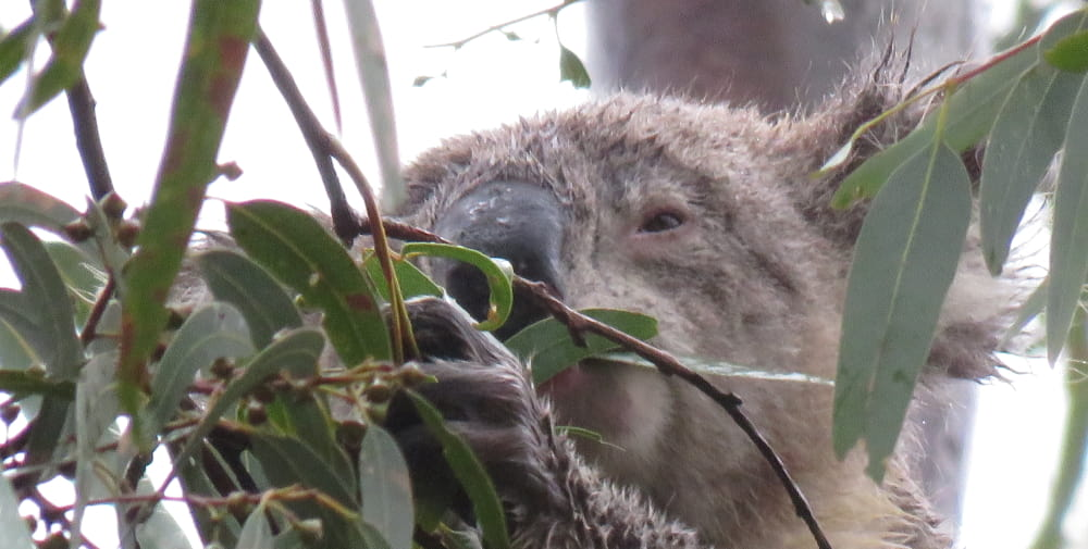 koala eating in the rain