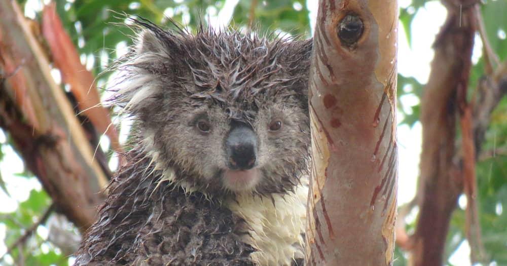 Koalas love to eat leaves in the rain