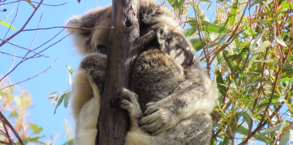 tiny 6 month old koala joey