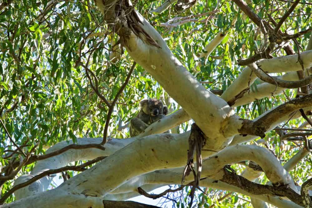 noosa koala in tree