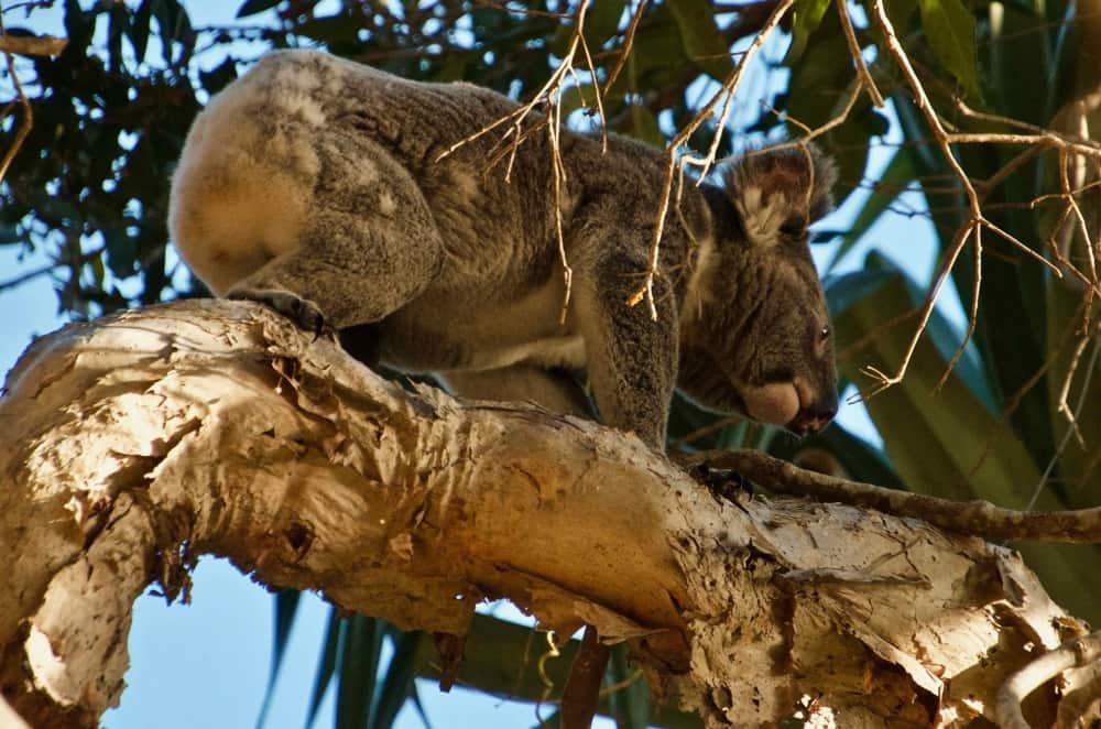 koala walking along branch