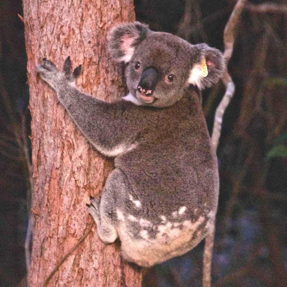 koala on tree yellow ear tag