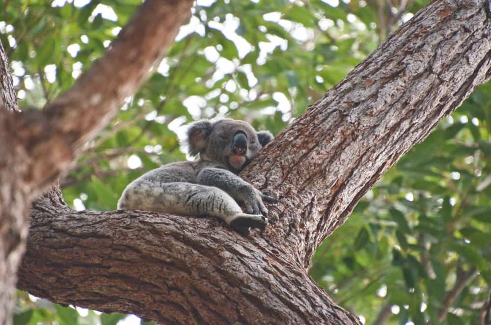wild koala in tree Queensland