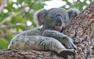 A Noosa koala story, part 8